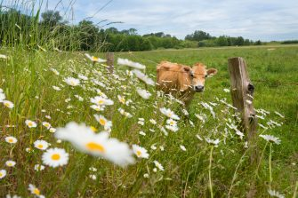 Cow in field with white flowers