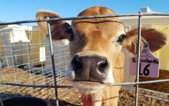 calf looking out from fenced area