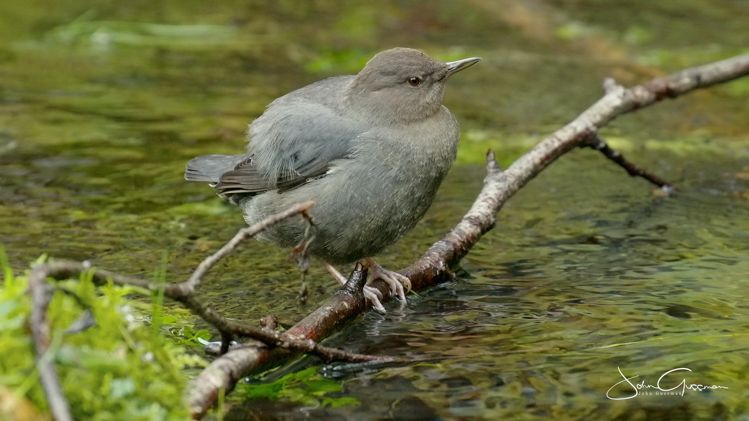 an American dipper (small, round gray bird) sits on a branch in moving water